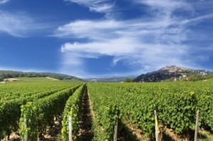California Vineyard; image courtesy of xedos4/FreeDigitalPhotos.net